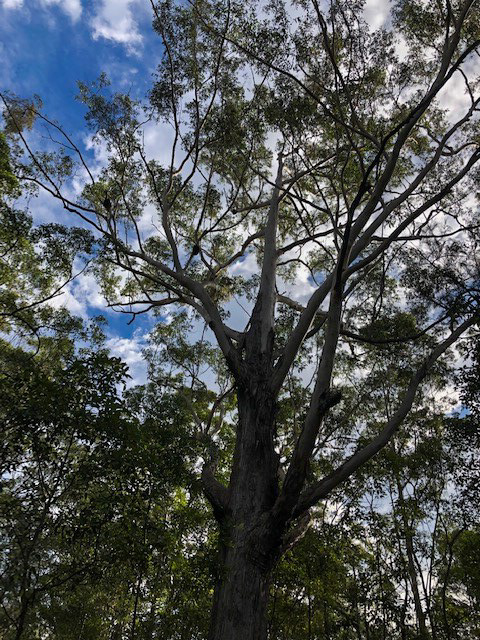 Trail Image for Eumundi Conservation Park: Geebung Circuit